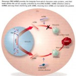 microRNAs and Transplantation