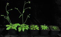 Thale cress, Arabidopsis thaliana